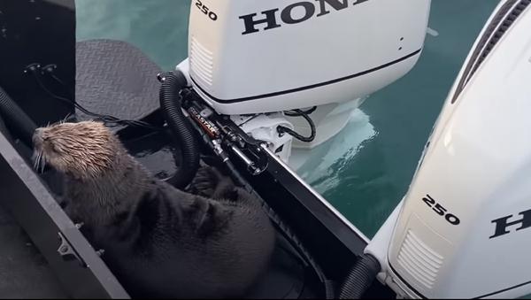 Una nutria salta a un bote segundos antes de ser pasto de una orca  - Sputnik Mundo