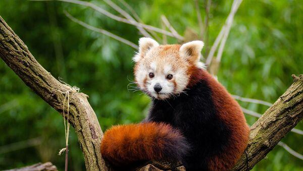 Un panda rojo, foto de archivo - Sputnik Mundo