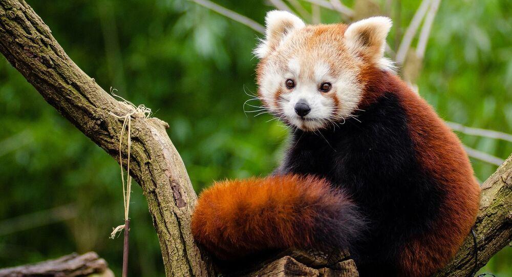 Un panda rojo, foto de archivo