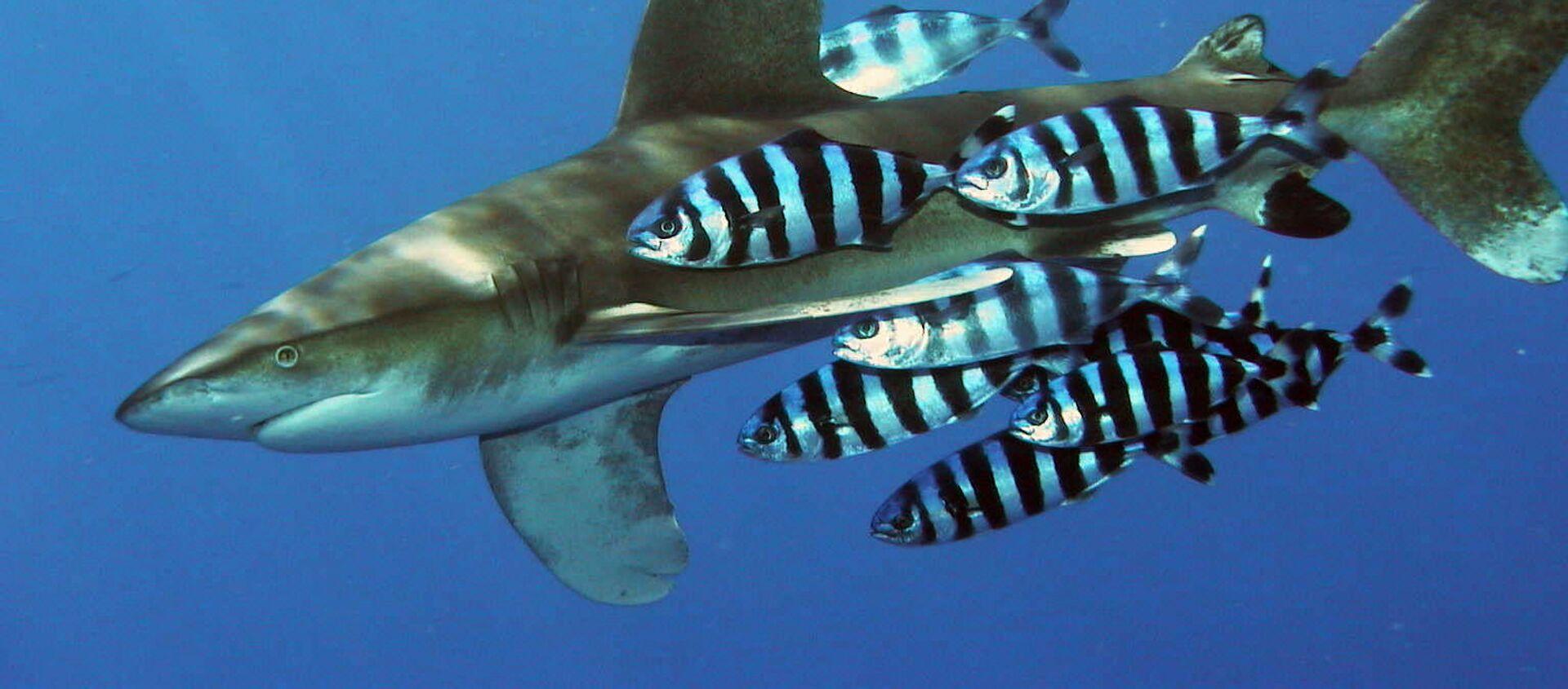 Tiburón oceánico de puntas blancas (Carcharhinus longimanus) - Sputnik Mundo, 1920, 04.08.2020