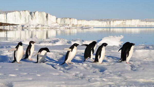 Pingüinos (imagen referencial) - Sputnik Mundo