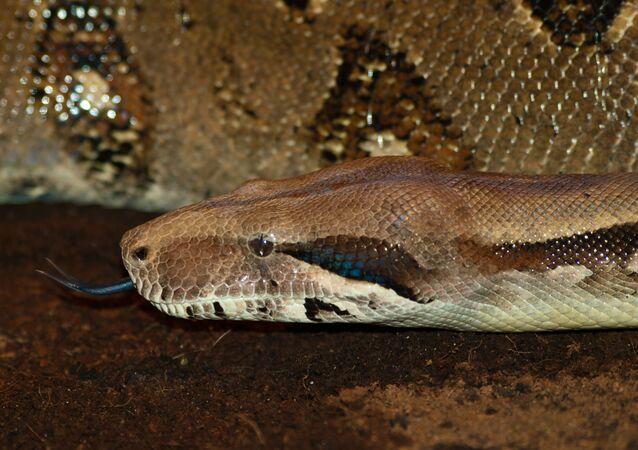 Una boa constrictor