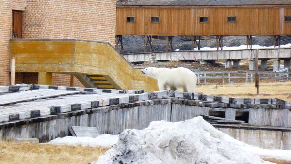 Un oso junto al edificio del cine en el asentamiento ruso de Piramida, en el archipiélago noruego de Svalbard - Sputnik Mundo