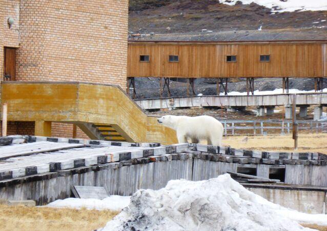 Un oso junto al edificio del cine en el asentamiento ruso de Piramida, en el archipiélago noruego de Svalbard