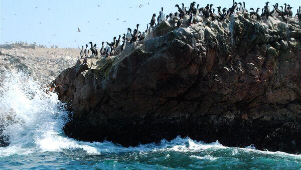 Población de guanay en Islas Ballestas, Perú - Sputnik Mundo