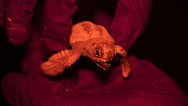 Primer nacimiento de tortugas marinas en Baleares - Sputnik Mundo