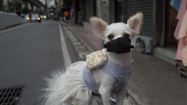 Un perro con la mascarilla - Sputnik Mundo