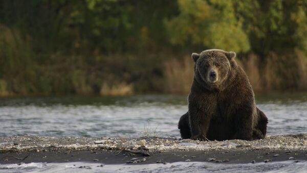 Foto referencial de un oso - Sputnik Mundo