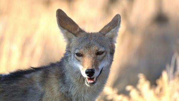 Coyote - Sputnik Mundo