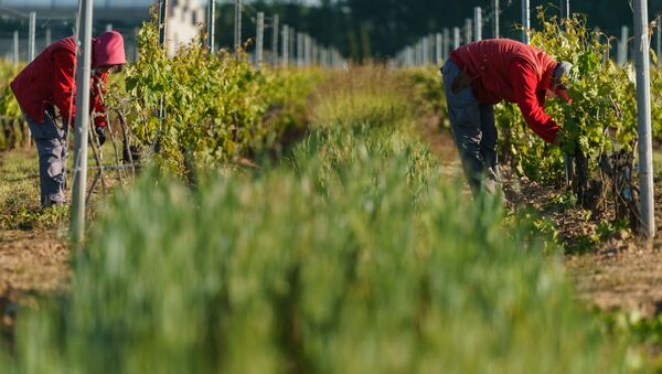 Recogida en un viñedo de Aranda de Duero (Burgos) en mayo de 2020 - Sputnik Mundo