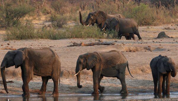 Elefantes en Zimbabue - Sputnik Mundo
