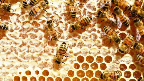 Las abejas melíferas - Sputnik Mundo