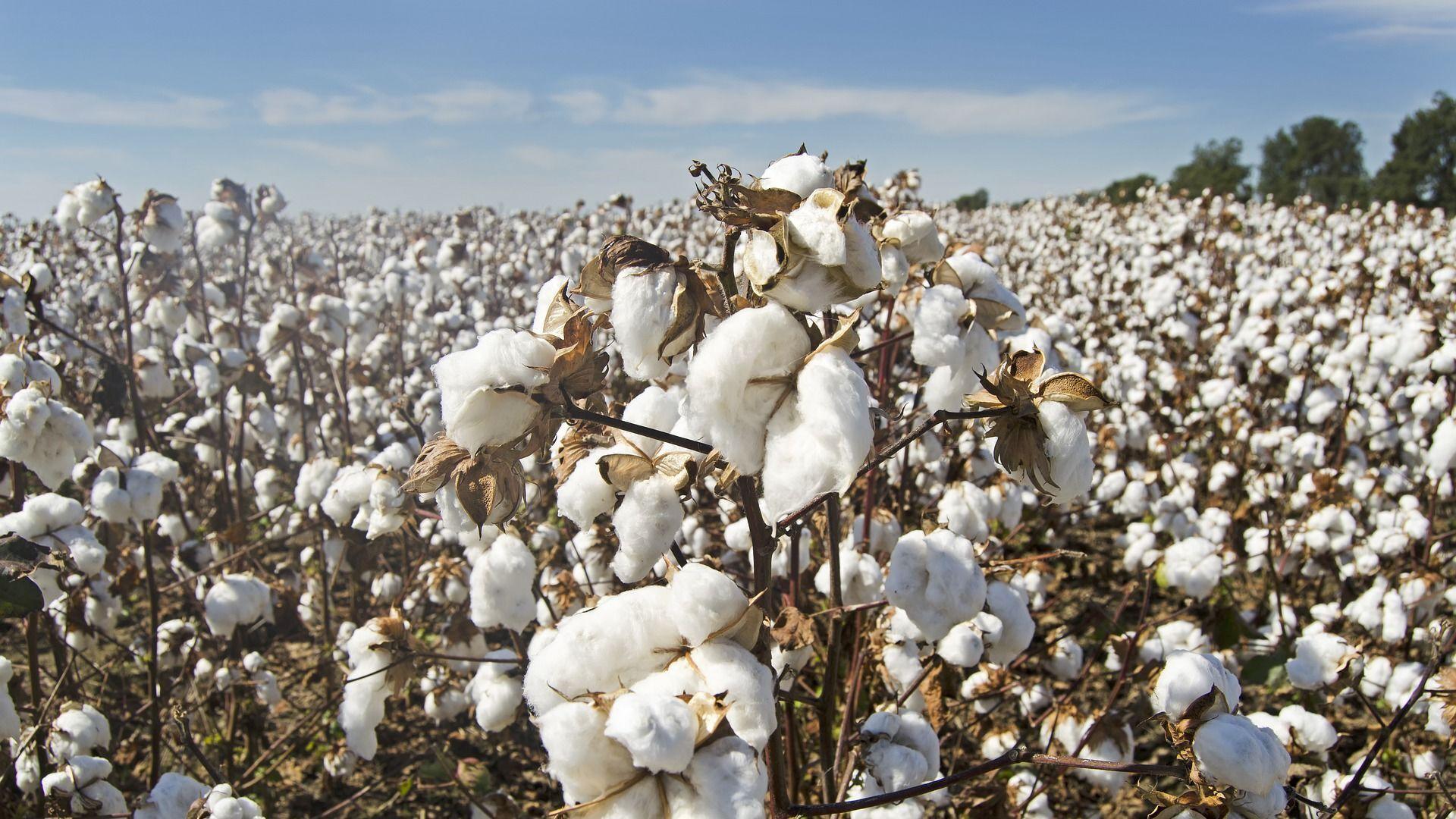 Una plantación de algodón (imagen referencial) - Sputnik Mundo, 1920, 25.03.2021