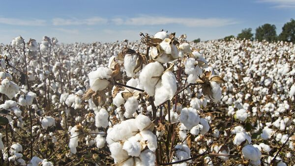 Una plantación de algodón (imagen referencial) - Sputnik Mundo