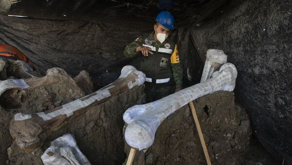 Los restos de mamuts encontrados en el sitio donde se construye el nuevo aeropuerto internacional de la Ciudad de México  - Sputnik Mundo