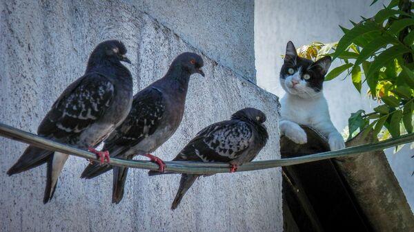 Un gato junto a palomas - Sputnik Mundo