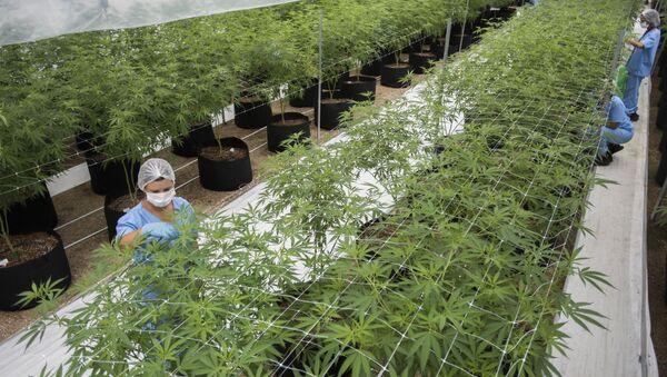 Una planta industrial de producción de cannabis en Uruguay - Sputnik Mundo