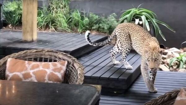 Un leopardo visita un restaurante en Sudáfrica - Sputnik Mundo