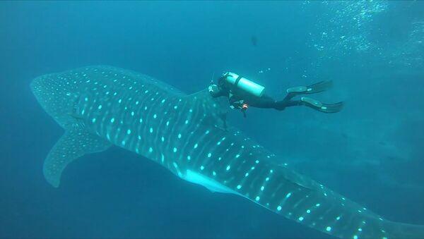 Un tiburón ballena recorre más de 1.000 kilómetros en 3 semanas - Sputnik Mundo