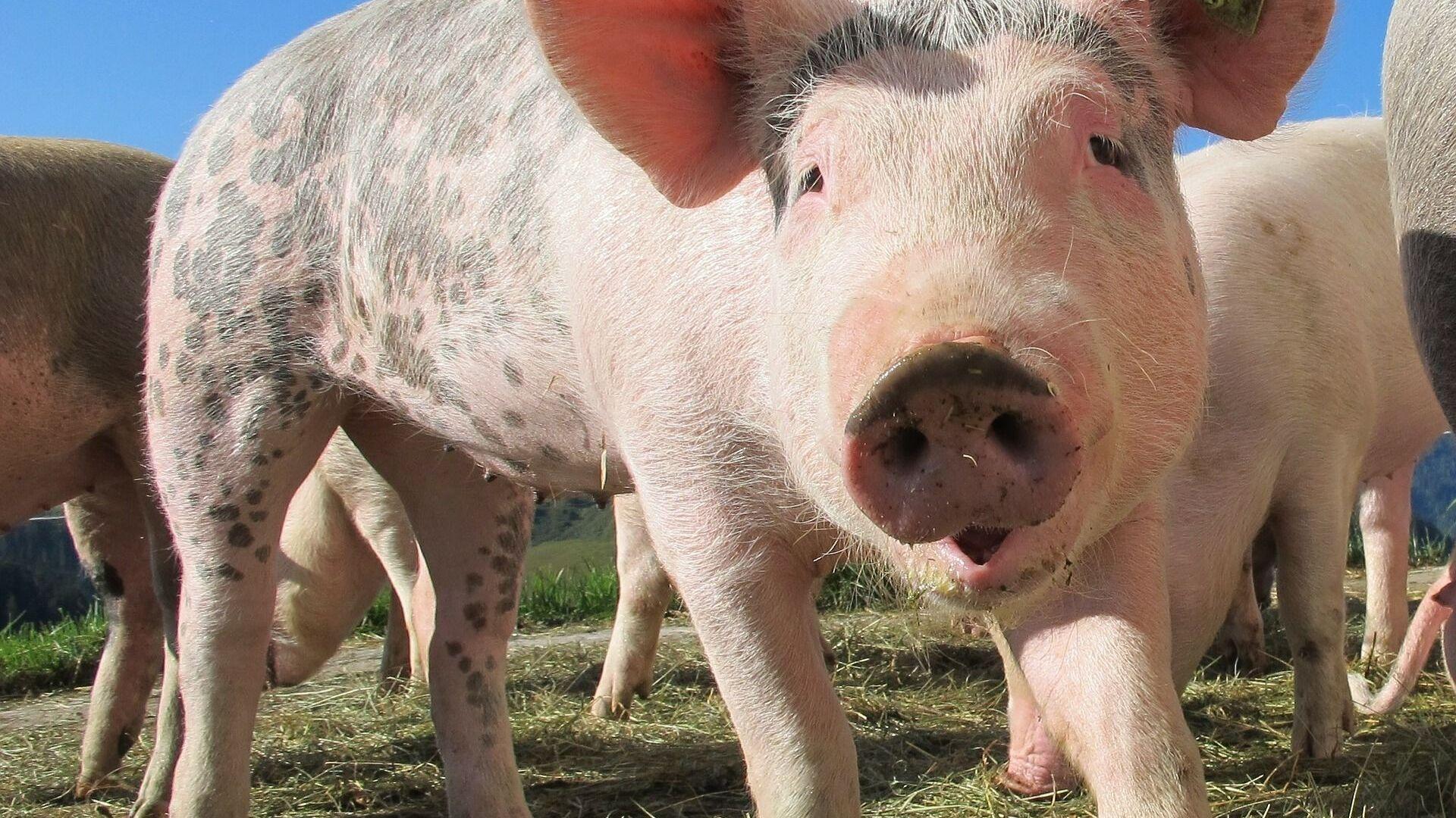 Un cerdo (imagen referencial) - Sputnik Mundo, 1920, 14.05.2021