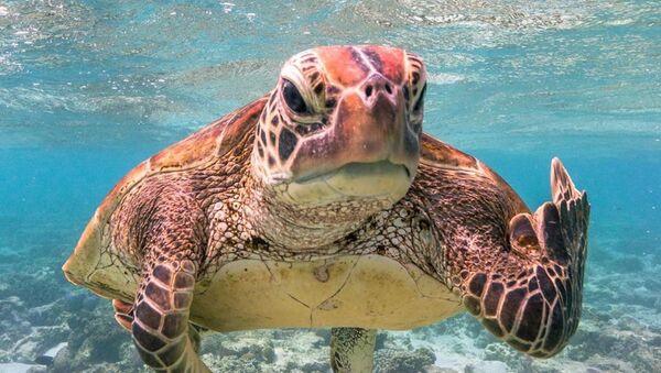 Una tortuga registrada por Mark Fitzpatrick, en la isla Lady Elliot, Australia - Sputnik Mundo
