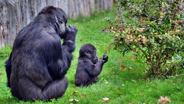 Dos gorilas - Sputnik Mundo
