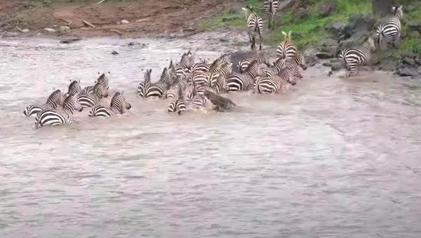 Cocodrilos atacan ñus y cebras en un río en Kenia - Sputnik Mundo