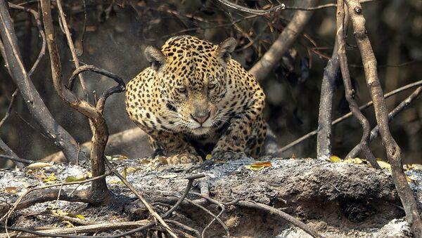 La fauna del Pantanal arde en los incendios declarados en esta región de Brasil   - Sputnik Mundo