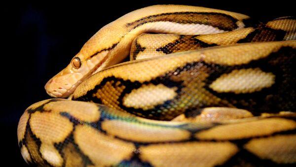 Una serpiente (imágen referencial) - Sputnik Mundo
