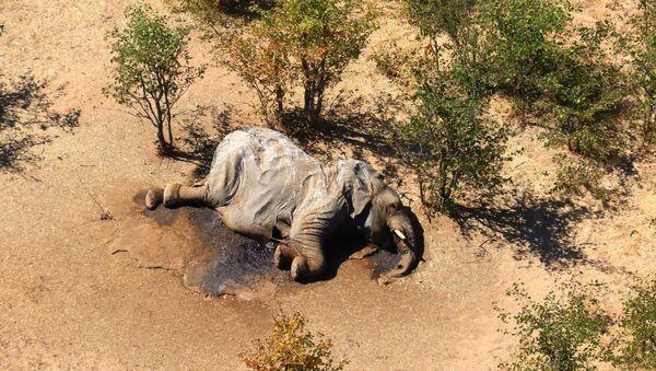 Un elefante muerte en Botsuana - Sputnik Mundo