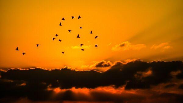 Las siluetas de unos pájaros - Sputnik Mundo