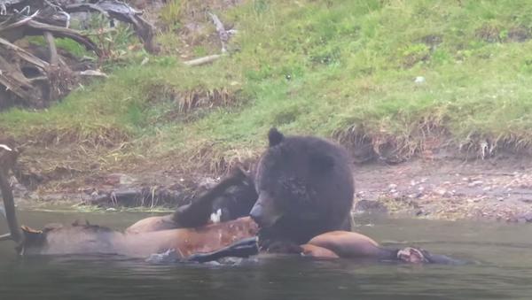 Un ciervo se convierte en el banquete de un oso gris - Sputnik Mundo