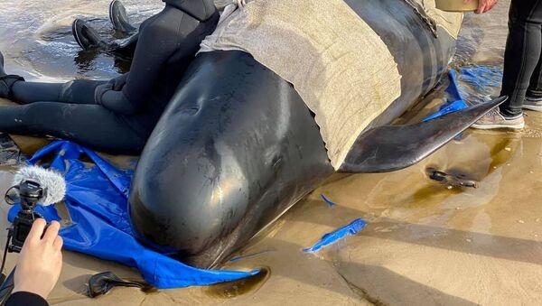 Una ballena piloto en Tasmania - Sputnik Mundo
