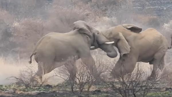 Esto es lo que pasa cuando un elefante muere en una feroz pelea  - Sputnik Mundo
