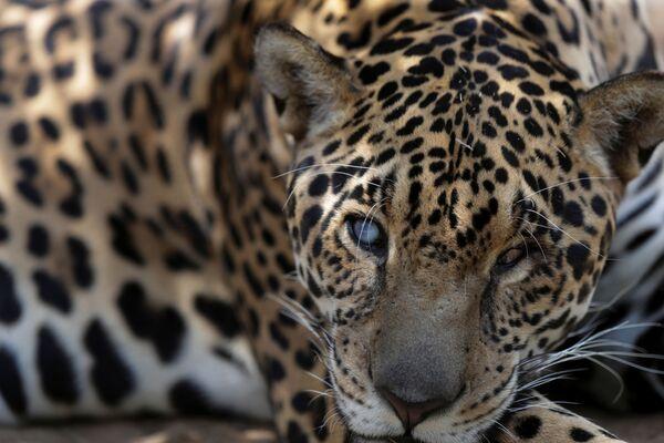 Así salvan a los jaguares de los incendios forestales en Brasil   - Sputnik Mundo