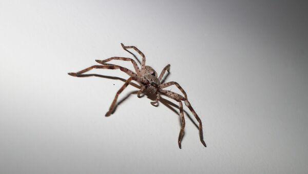 Una araña - Sputnik Mundo