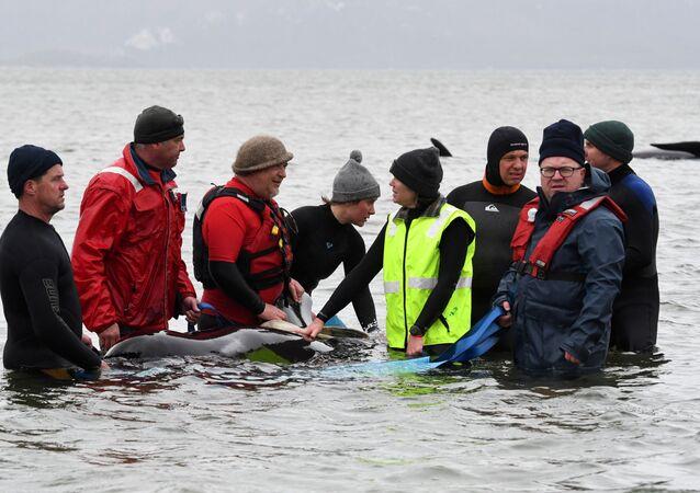 Rescatistas de ballenas piloto en Tasmania
