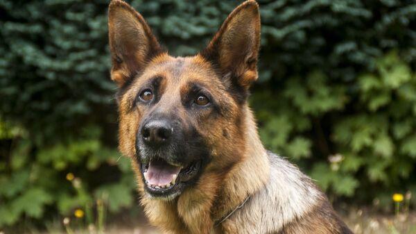 Un perro de servicio, referencial - Sputnik Mundo