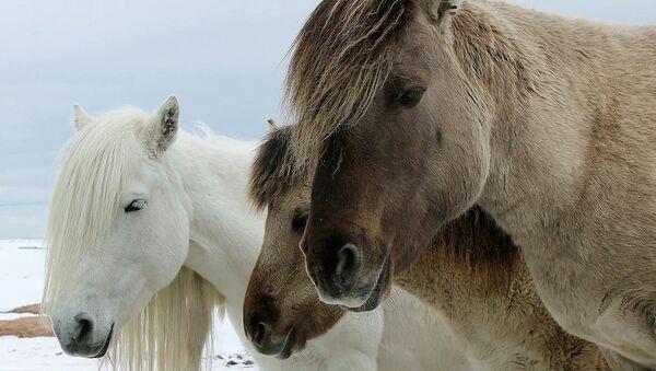 Así sobreviven los caballos callejeros de una aldea en el norte de Rusia - Sputnik Mundo