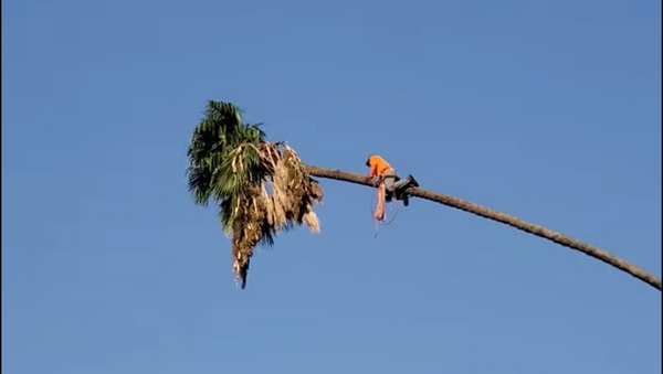 La insólita manera de cortar una palmera - Sputnik Mundo