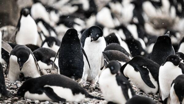 Los pingüinos de Adelie - Sputnik Mundo