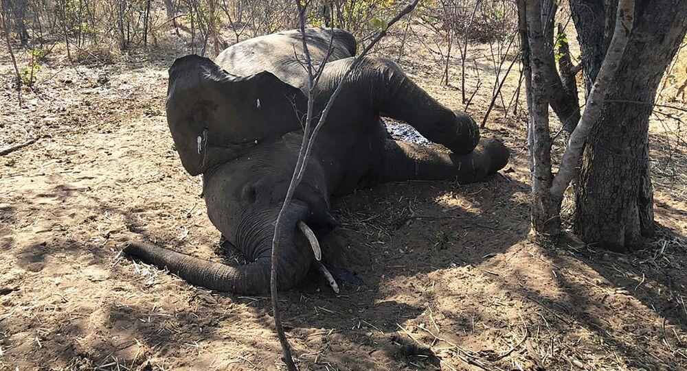 Un elefante muerto en Zimbabue (agosto, 2020)
