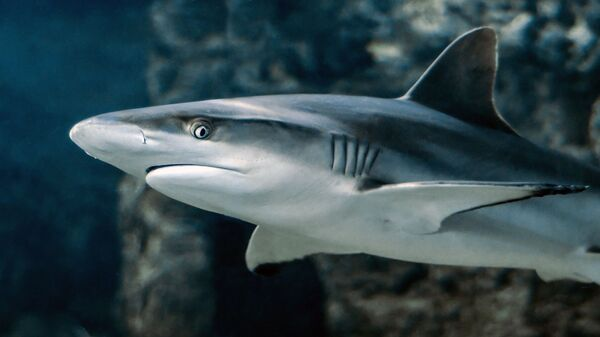 Un tiburón. Imagen referencial - Sputnik Mundo