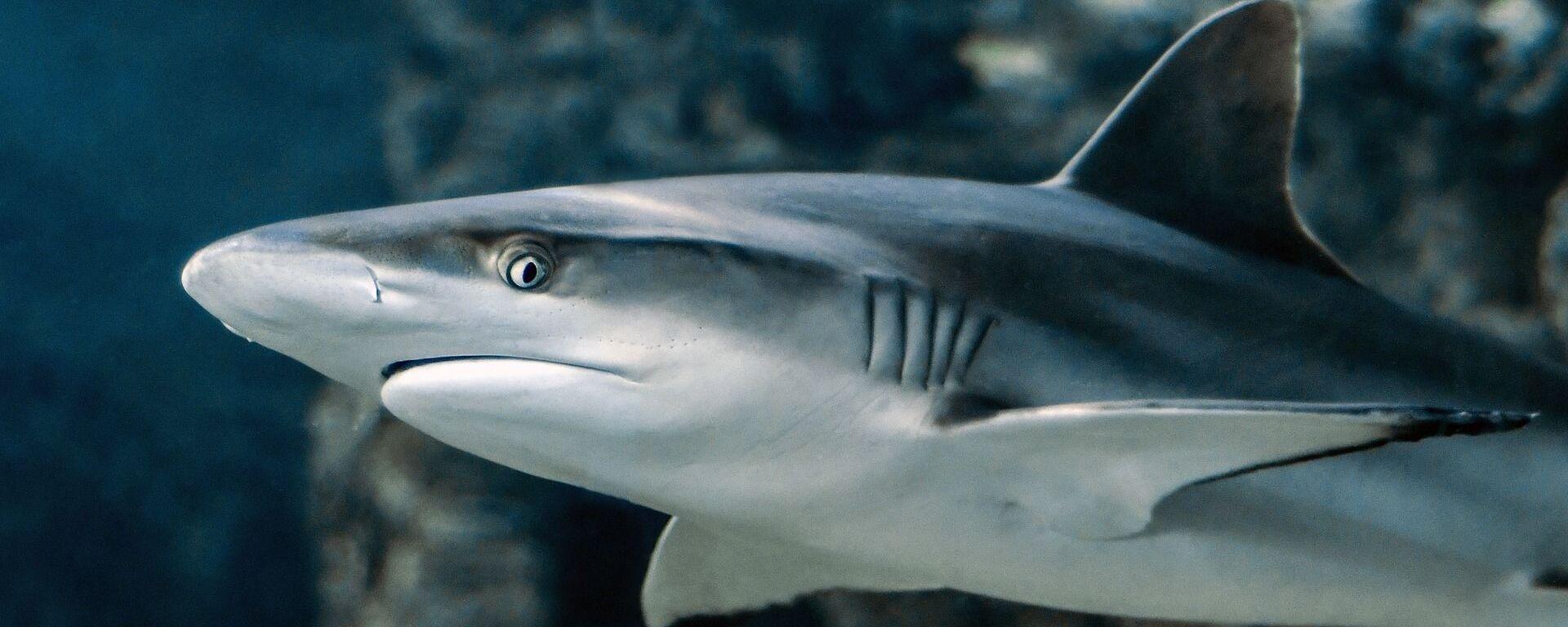 Un tiburón. Imagen referencial - Sputnik Mundo, 1920, 17.04.2021
