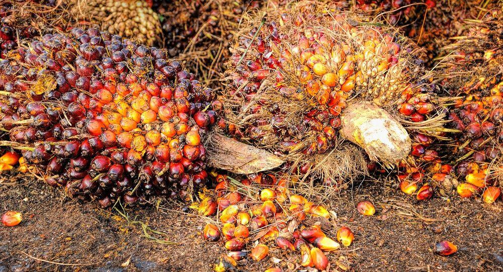 Las semillas de palma de las que se produce el aceite