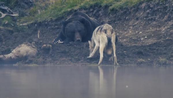 Un oso muy flojo protege a su presa de un lobo - Sputnik Mundo