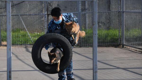 Entrenan a perros de la raza shalaika para detectar a los contagiados de COVID-19  - Sputnik Mundo