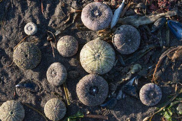 Выброшенные на берег Авачинской губы морские ежи - Sputnik Mundo
