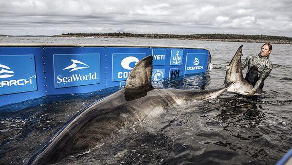 Un científico de la ONG Ocearch durante la captura del tiburón Nukumi - Sputnik Mundo