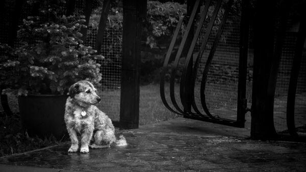 Un perrito bajo la lluvia - Sputnik Mundo